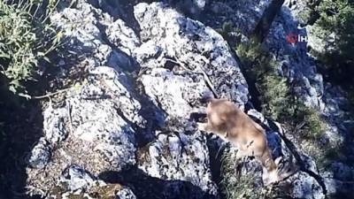 Yaban keçisi ve yaban kedisi fotokapana yakalandı