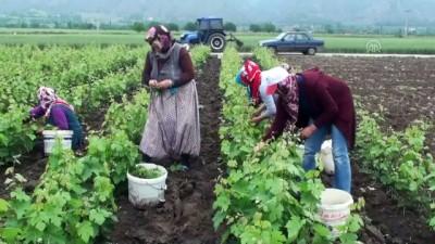 Coğrafi işaretli Erbaa yaprağında hasat zamanı - TOKAT