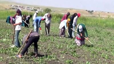 Mevsimlik işçilerin zorlu mesaisi - MUŞ