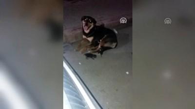 Otomobilin ezdiği kedinin yavrularını köpek emzirdi - MERSİN