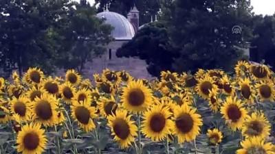 plato - 'Doğanın sarı gelini' çiçeklendi - EDİRNE