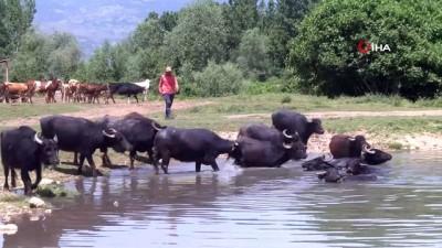 Afrika sıcaklarında suya girerek serinleyen mandalar havadan görüntülendi