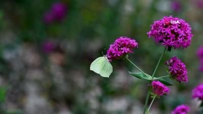 Burdur'da kelebek türlerine bir yenisi eklendi...Anadolu Orakkanadı adlı kelebek kamerada