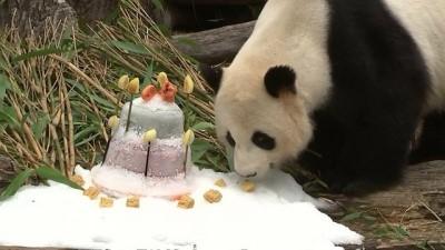 panda - Doğum günü pastasına anlam veremeyen Panda bambu yaprağı yemeye devam etti