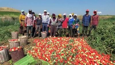 'Kırmızı altın'da hasat zamanı...Salçalık domateste üretim arttı