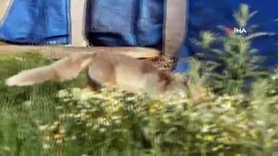 Aç kalan yaban hayvanlarının yiyecek arayışı kamerada