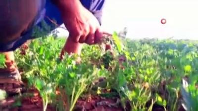 misyon -  Yeşil soğanın çuvalı tarlada 5, halde 100 lira