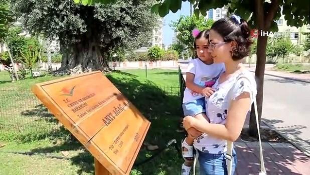 belgesel -  Bin 500 yıllık 'anıt ağaç' zeytin verdi