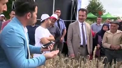 cumhurbaskani -  Vali Şentürk Tarla Günü'nde biçerdöverle hasat yaptı...Hasat yapılan tarlalar havadan görüntülendi