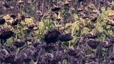 Ayçiçeğinde hasat zamanı - ADANA