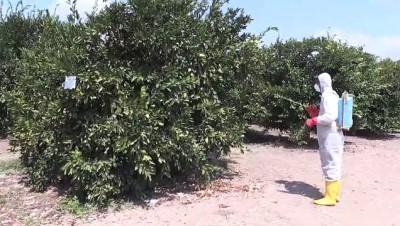 Akdeniz meyve sineği mücadelesi - ADANA