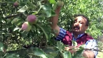 yaz mevsimi - Sarıkamış'ta ağaçlarda meyve bereketi - KARS