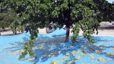 'Dünya kayısı başkenti'nde hasat sürüyor - MALATYA