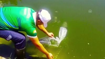 Göl ve göletlere 5,1 milyon sazan balığı yavrusu bırakılacak - ANKARA