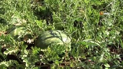 yaz gunleri -  Karacabey'de karpuz hasadı başladı
