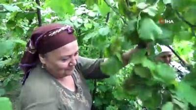 findik toplama -  Fındık üreticileri çifte bayram yaşıyor