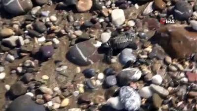 caretta caretta -  Alanya'da onlarca caretta caretta mavi sularla buluştu
