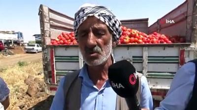 yaz mevsimi -  Satamadığı tonlarca domatesi tarlaya döktü