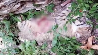 Pitbull cinsi köpeğin saldırısına uğrayan hamile kedi telef oldu