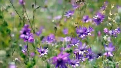 yaz mevsimi - Mor renklerle süslenen Aras Dağları göz kamaştırıyor - IĞDIR