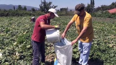 fabrika - Sındırgı kornişonu üreticisinin hasat telaşı - BALIKESİR