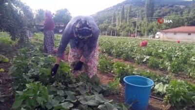 fabrika -  Kornişon üretimindeki artış Sındırgılı çiftçiyi sevindirdi