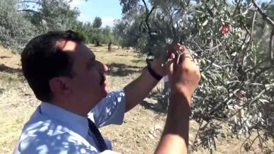 zeytinlik -  Zeytin sineğine organik çözüm 'kaolin'
