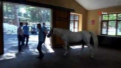 uzun omur -  Yüz güzeli Arap atı Batyskaf ilerlemiş yaşına rağmen devlete servet kazandırıyor