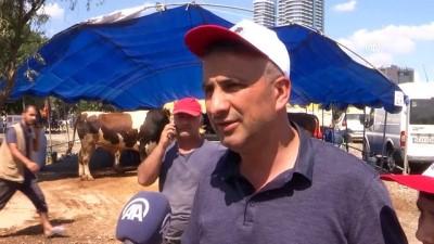 buyukbas hayvanlar - Kurban pazarında 'Falcao' 16 bin liraya alıcı buldu - İSTANBUL