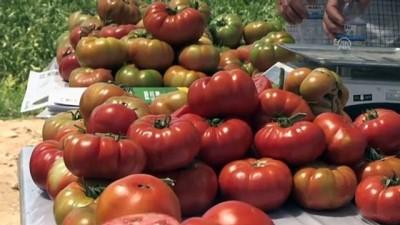 Yerli tohum ile domateste yüksek verim - MARDİN