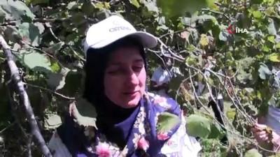 findik toplama -  Sigortalı fındık işçileri bahçede