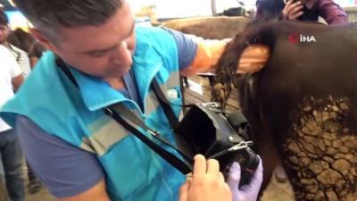 buyukbas hayvanlar -  Kurban pazarında 'ultrason' timi iş başında