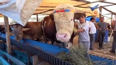 buyukbas hayvanlar -  Kurban pazarının gözdesi 20 bin liraya satıldı