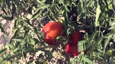 sosyal sorumluluk - 'Sazlıca domatesi' ve 'Bor biberi'nin gen kaynakları araştırılıyor - NİĞDE