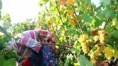 Üzüm bağlarında hasat heyecanı - TEKİRDAĞ