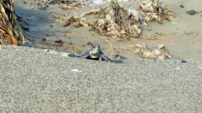 caretta caretta - Binlerce kaplumbağa yavrusu denizle buluştu - ANKARA