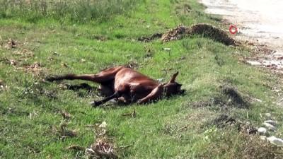 Yol kenarına atılan yaralı at dakikalarca can çekişti