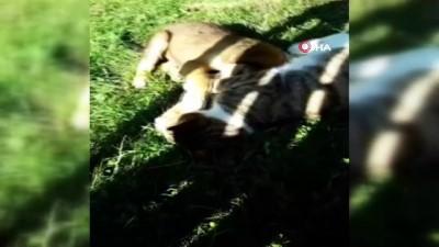 Doğum yapan köpek kedinin süt annesi oldu