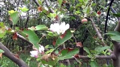 Sonbahar'da erik ve armut ağacı çiçek açtı