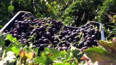 Kurutmalık üzümler arazilere 'desen' oluyor - HATAY