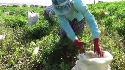 Kahramanmaraş'ta biber hasadı başladı... Kurumaya bırakılan biberler havadan görüntülendi