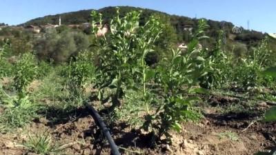 Stevia bitkisi yeni gelir kapısı olacak - ZONGULDAK