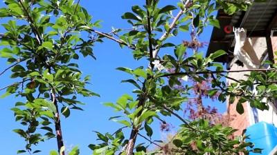 Gümüşhane'de iklimi şaşıran vişne ağacı sonbaharda çiçek açtı