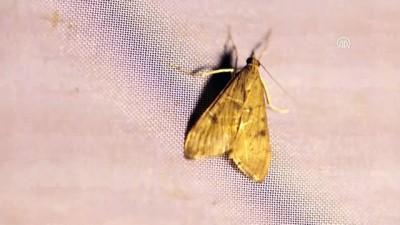 'Türkiye'nin Çatısı'ndaki gece kelebekleri kayıt altına alınıyor - IĞDIR