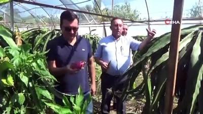Aydın heyeti Muğla'da ejder meyvesini inceledi