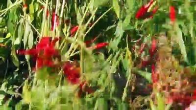 organik tarim - 'Minik çiftçiler' ektiklerini biçti - SAKARYA