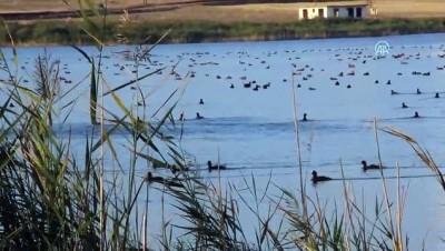 yaz mevsimi - Hafik Gölü kuşlarla şenlendi - SİVAS
