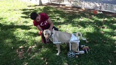 ilac tedavisi -  Yaşamaz denilen felçli köpek için her şeyi yaptı