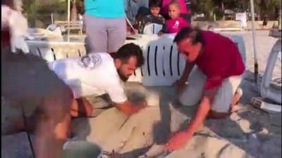 caretta caretta - Bodrum sahilinde caretta caretta yuvası bulundu - MUĞLA