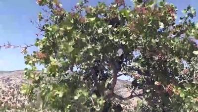 Karaman'da Antep fıstığı, yöre halkının geliri oldu - KARAMAN